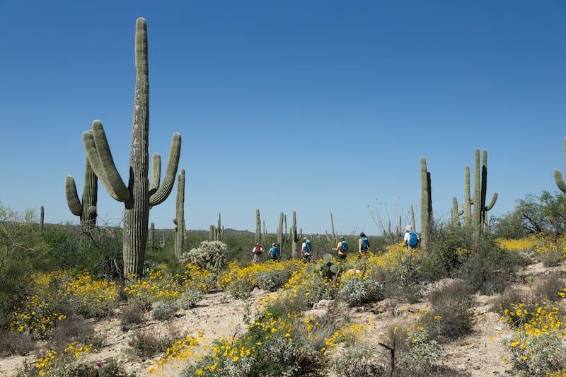 blooming Sonoran Desert in Saguaro National Park, Arizona, USA