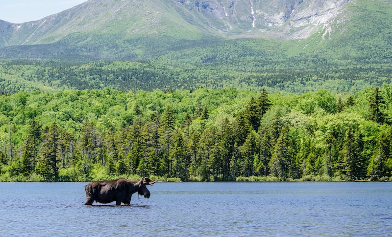 Moose in a lake in Baxter State Park