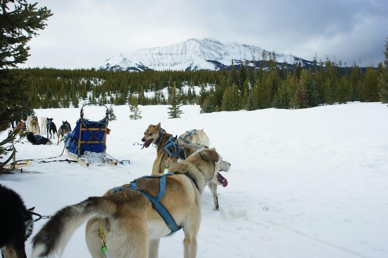 Dog sledding in Montana