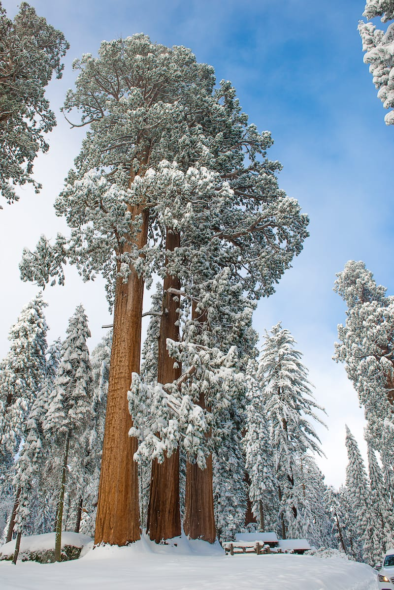 Giant Sequoia Trees in Kings Canyon & Sequoia National Park during the winter