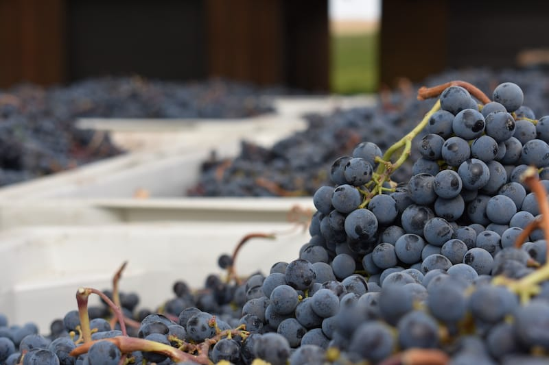 Grapes in at one of the best walla walla wineries