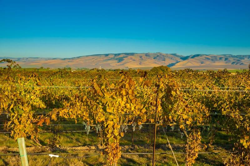 USA, Washington, Walla Walla. Vineyard at end of harvest.