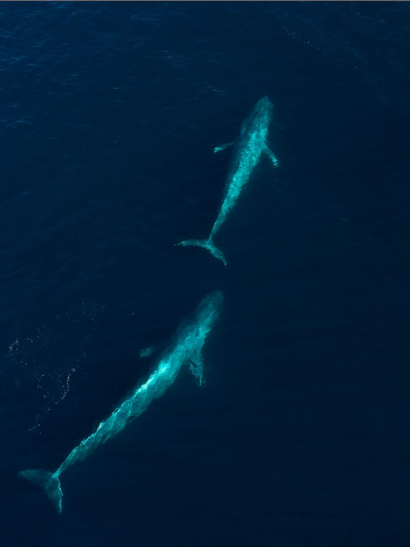 BLUE WHALES IN CALIFORNIA