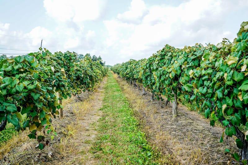Concord grapes in Ohio
