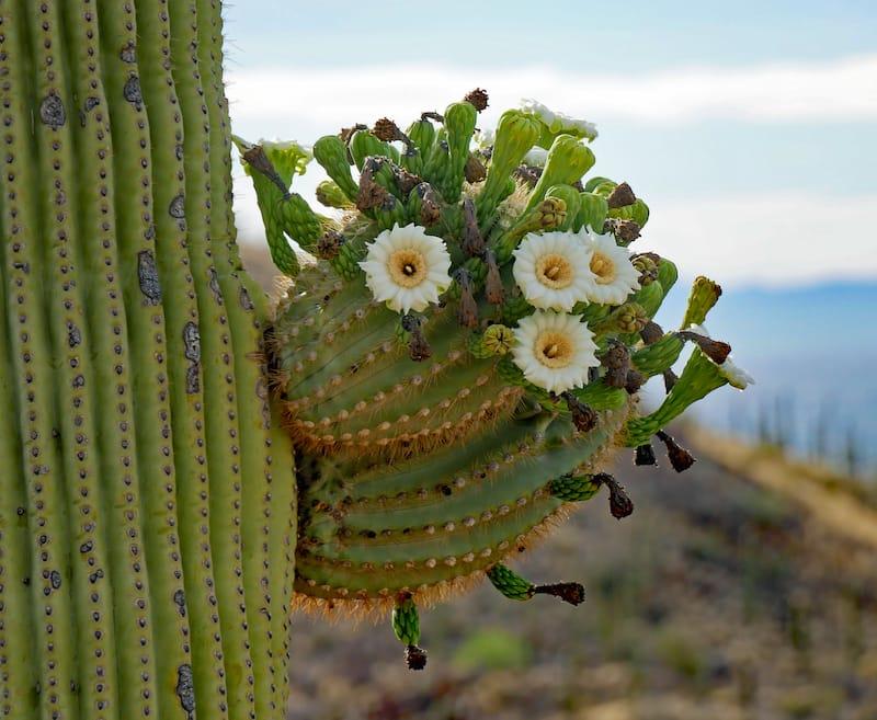 Saguaro National Park in May