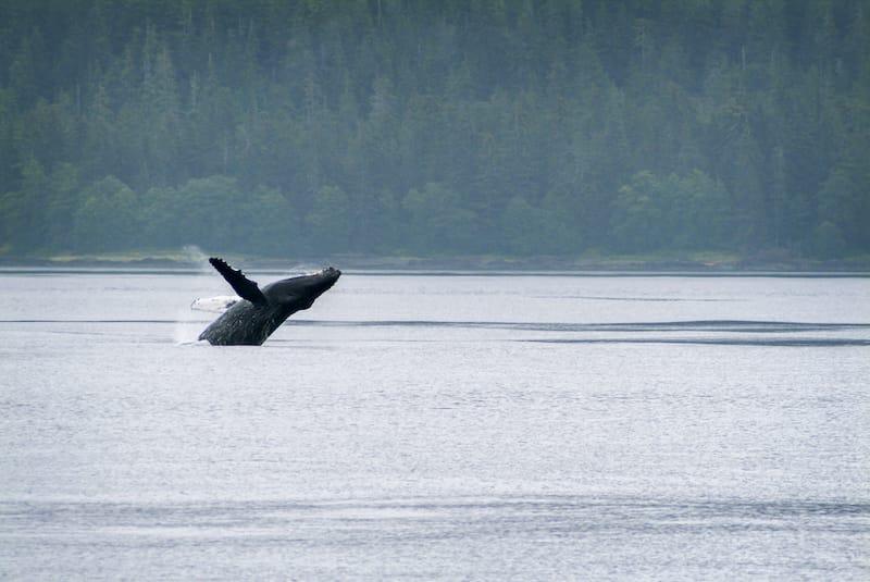 Humpback whale breaching near Sitka Alaska