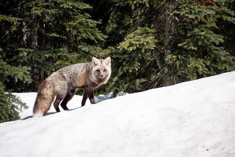 Fox at Crater Lake
