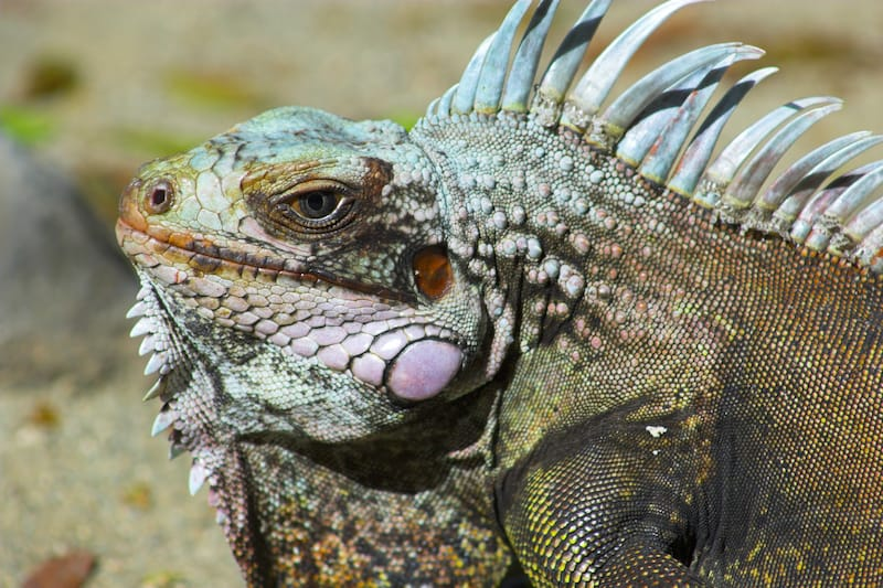 Wild iguana in Virgin Islands National Park