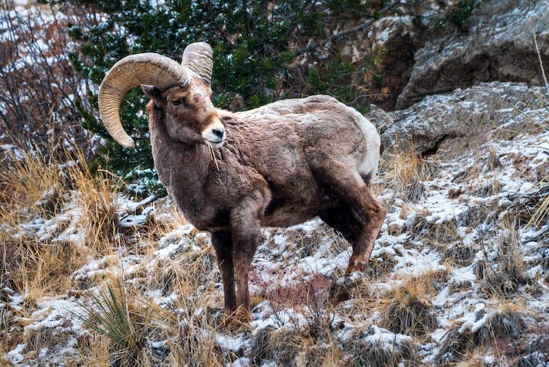 Big Horn Sheep in Garden of the Gods