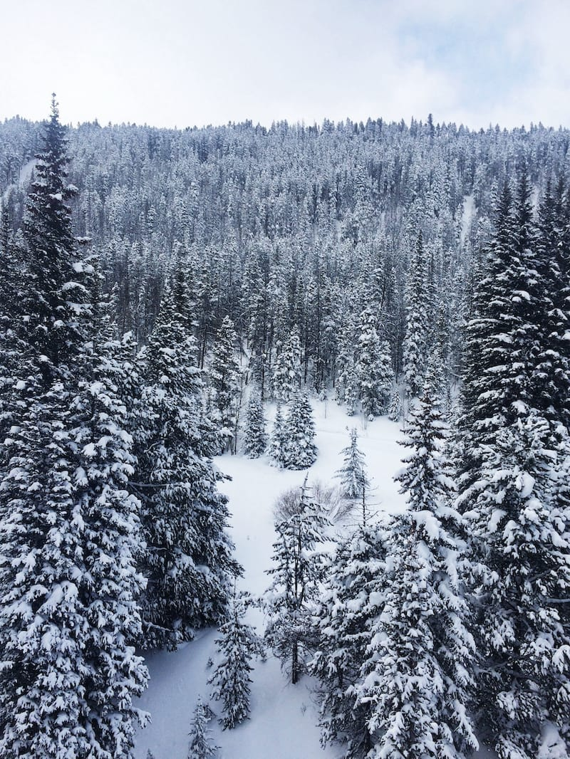 Snow covered pines in winter in Breckenridge