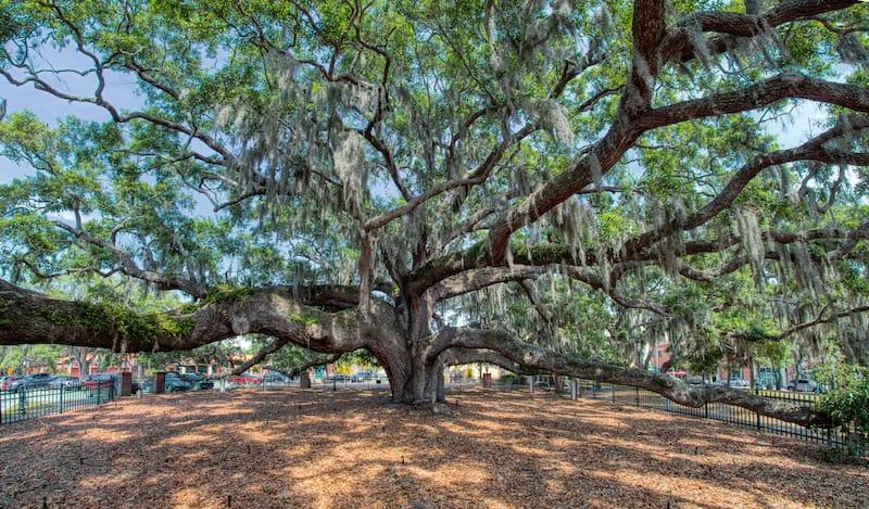 Baranoff Oak Tree in Safety Harbor