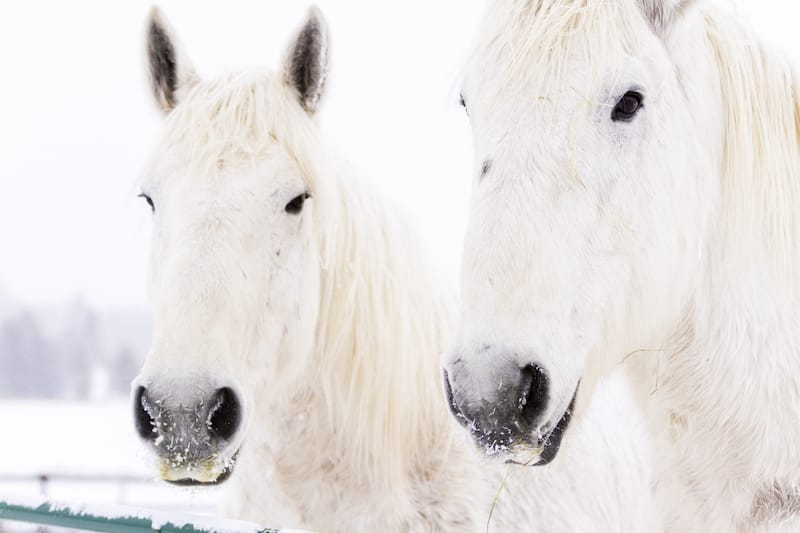Horses in Steamboat